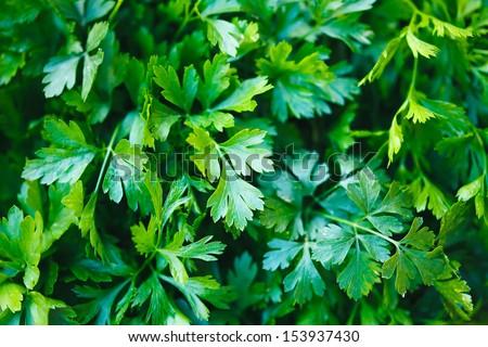Green parsley. Macro image. - stock photo