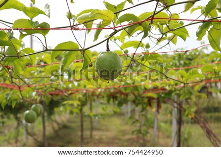 Green passion fruit hanging on the tree in farm, organic farm