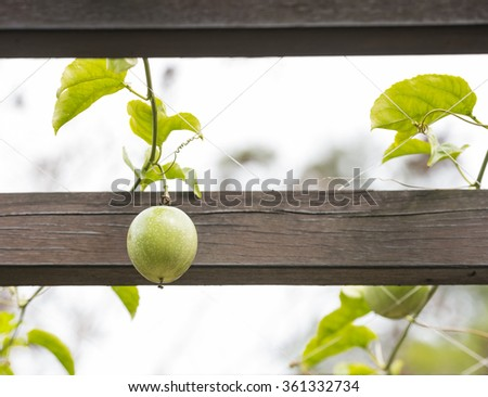 green passion fruit hanging on vine between wooden pergola beams - stock photo