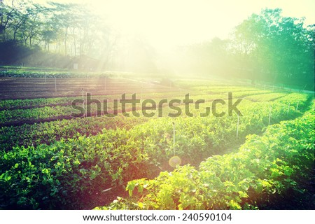 green pea and celery crops in growth at vegetable garden - stock photo