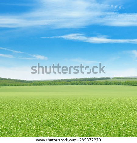 green pea field and blue sky
