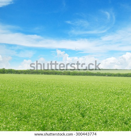 green pea field and blue sky - stock photo