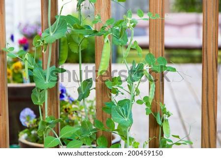 Green pea plants growing in a garden, selective focus, shallow dof - stock photo