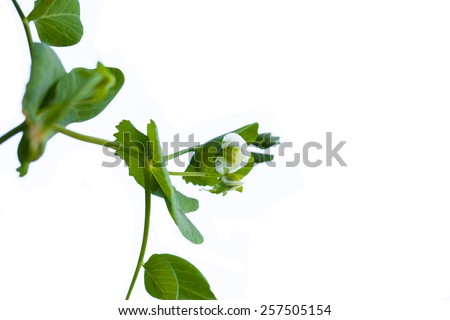 green pea twigs isolated on a white background