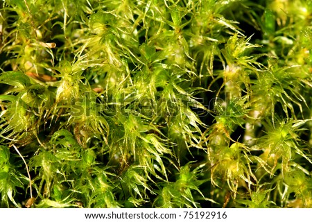 Green Peat Moss (Sphagnum) Background - stock photo