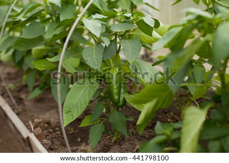 green pepper in the greenhouse