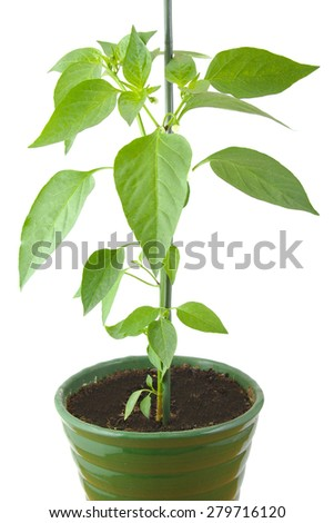 Green pepper plant in a pot isolated on white background Urban garden