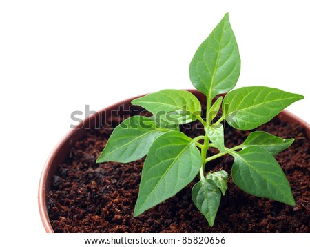 Green pepper sprout in the pot isolated on white background - stock photo