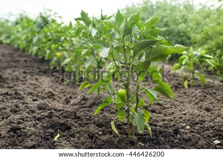 green peppers growing in the garden - stock photo