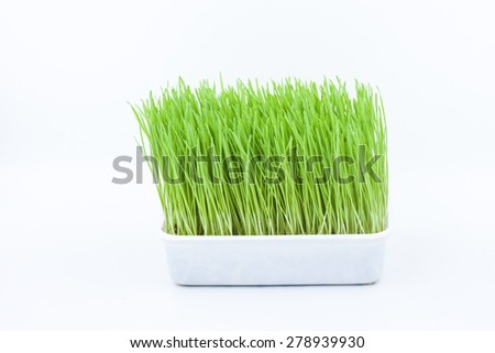 Green pet grass, cat grass