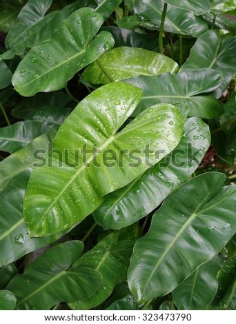 Green Philodendron leaves background - stock photo
