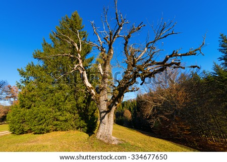 Green Pine and Leafless Tree Oak / Large green pine and a old oak tree without leaves in autumn with a blue clear sky - stock photo