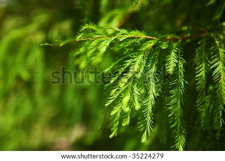 green pine branches with needles as background