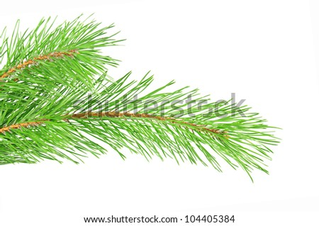 Green pine tree branch isolated on the white