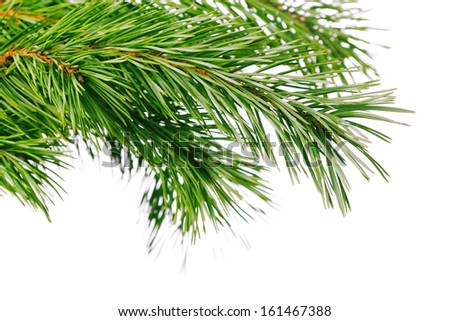 Green pine tree branch on white background