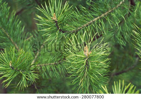 green pine tree branches with focus on foreground buds by springtime