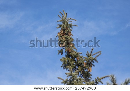 Green pine with big cones on a background blue sky - stock photo
