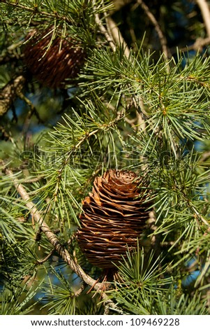 green pine with cone - stock photo
