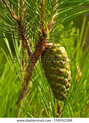 Green pinecone hanging from the branch between needles