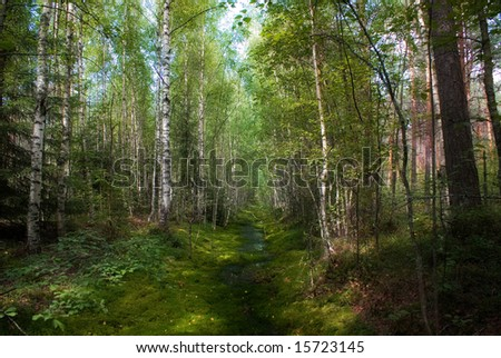 green pines forest - stock photo