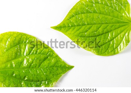 Green Piper sarmentosum leaves isolated on white background
