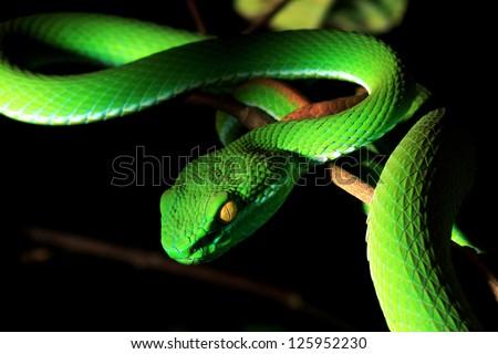 Green pit viper - stock photo