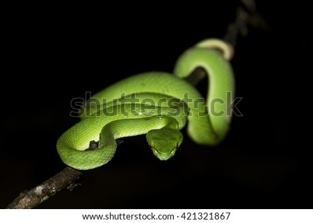 Green pit viper, Asian pit vipe