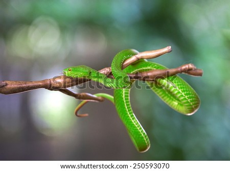 Green pit viper, Asian pit viper - stock photo