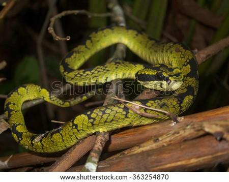Green pit viper in Sri Lanka rainforest - stock photo
