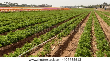 Green plans in rows on flower farm.