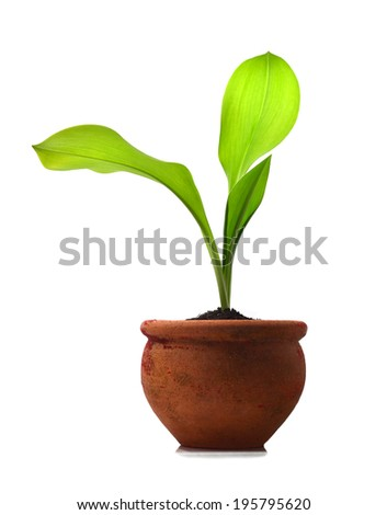 Green Plant and Soil in potted Isolated on white background. - stock photo