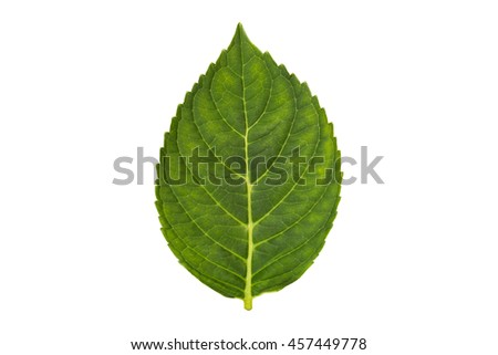 green plant leaf isolated on white background
