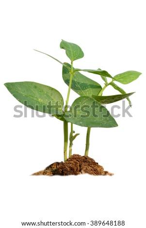 Green plant on white background - stock photo