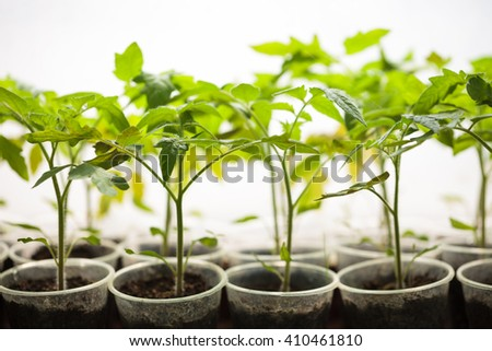 Green plant seedlings in greenhouse. Cultivated sprouts in rich soil were grown under the sun in glasshouse, macro close up with shallow depth of field and no models - stock photo