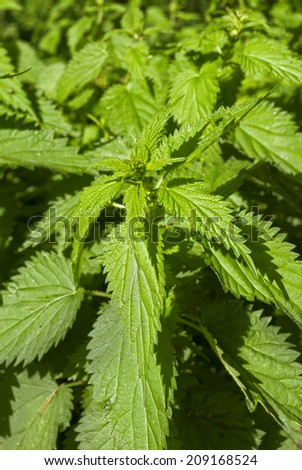 Green plant urtica or nettle under the sun - stock photo