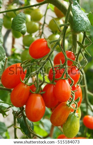 green plant with tomatoes as nice natural background