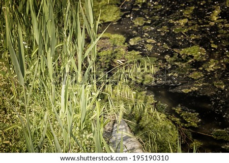 Green plants and weeds plants and floating dark algae and moss on the muddy brownish water of the Pialassa della Baiona brackish lagoon near Marina Romea along the  Adriatic seaside in Ravenna (Italy) - stock photo