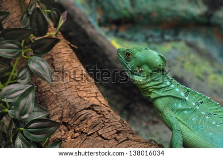 Green plumed basilisk reptile on branch. Also known as jesus lizard as it is able to run short distances across water surface. - stock photo