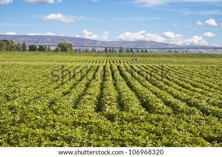 green potato field and blue sky landscape - stock photo
