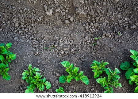 Green potato plant. Leaf of vegetable. Organic food agriculture in garden, field or farm. Growth of crop. Rural nature in summer. Natural outdoor background. - stock photo