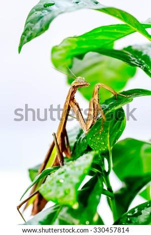 green praying mantis on flower / Mantis religiosa - stock photo