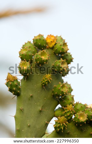 Green Prickly Pear Cactus Leaf in the late afternoon - stock photo