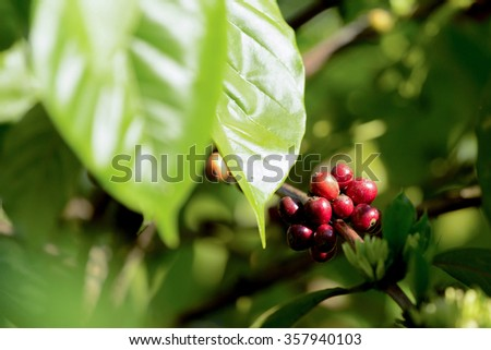 green raw coffe plant in agricultural farm in Bali, Indonesia