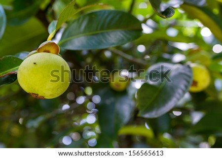 Green raw mangosteen on the tree