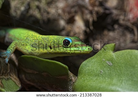 green red and blue Gold dust day gecko from hawaii while eating jam