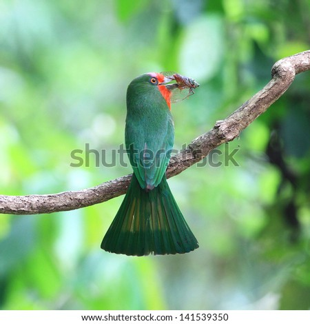 green red bird (Red bearded Bee eater) sitting on branch