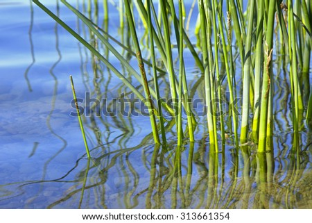 green reed grass in the water, with reflection - stock photo