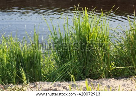 Green reeds by a lake