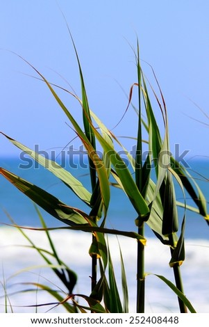 Green reeds with the beach and ocean in the background. - stock photo