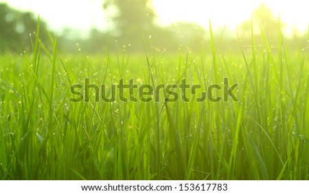 green rice field and sunrise